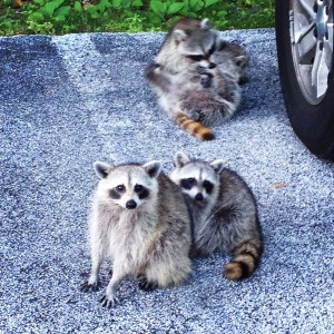 The racoon family