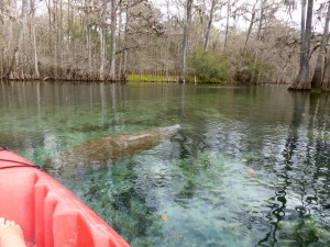A manatee coming up for air
