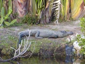 A gator relaxes in Big Cypress National Preserve