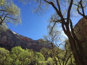Cottonwoods in Zion NP