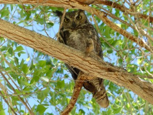 Great horned owl in Cottonwood Campground, Big Bend NP