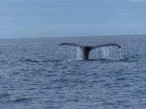 A humpback whale flukes in the bay