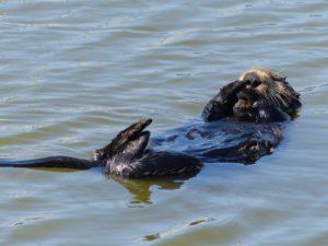 A sea otter preens at Moss Landing